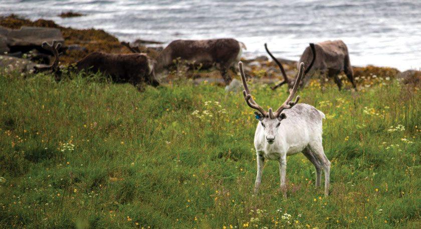 Å se reinsdyr fra kajakken kan du nesten regne med å gjøre.