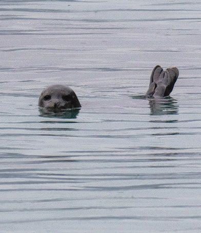 Dønnesfjord har en selkoloni, og dyrene var ikke så veldig redd oss padlere, men holdt seg på en avstand på rundt ti meter.